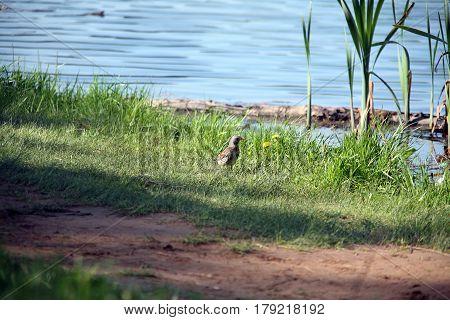 Partridge Near A Pond