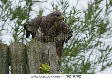 photo of a Common Buzzard getting ready to fly off
