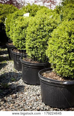 Young green boxwood bushes potted in black tubs at a garden center in the morning sunlight in the springtime.