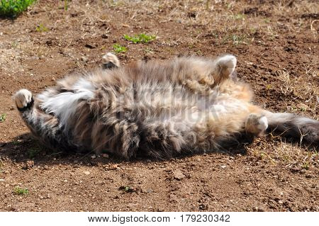 Fluffy cat rolling on the ground. Gray cat playing