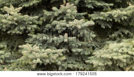 close-up of green fir branches full frame