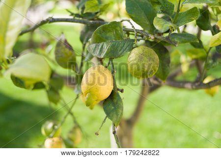 Ripe lemon on tree