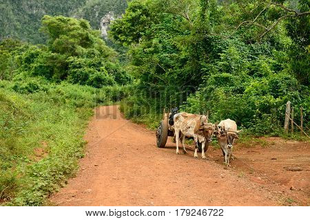 Cart harnessed into two oxen being used for a transport of the agricultural produce in the valley being based on a hit red road.. Valley de Vinales Cuba Pinar del Rio province