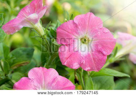 Pink petunia flower blooming in the garden