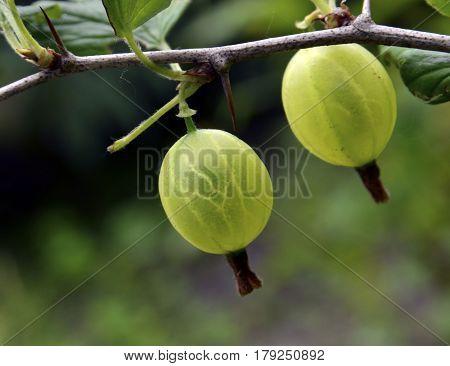 Fresh green gooseberries on a branch of gooseberry bush close up.Selective focus.