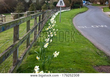 daffodils in spring in the British countryside