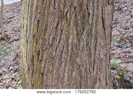 The trunk of an old lime trees, background, tree bark