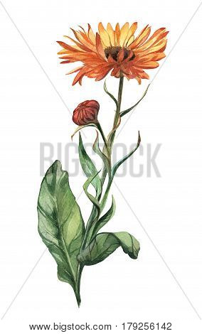 Watercolor isolated hand-drawn summer herbal flower calendula