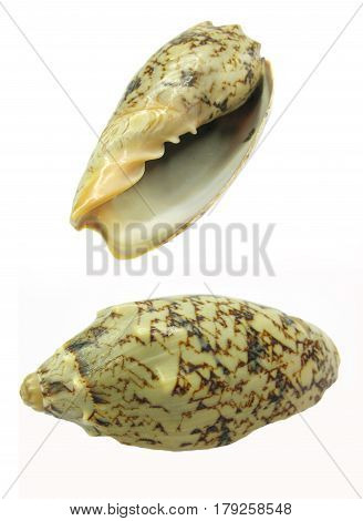 two brown and black sea shells hemifusus tuba isolated