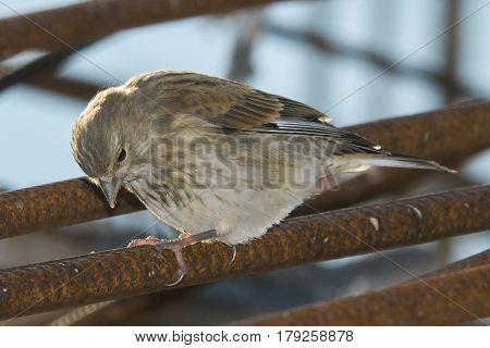 Little sparrow sitting on rusty iron bars