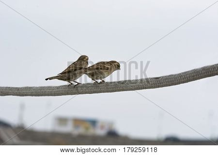 Two little sparrows sitting on a twig