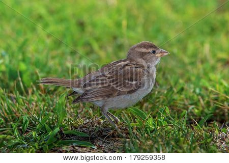Little sparrow isolated on green grass background