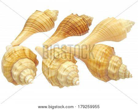 six yellow sea shells hemifusus tuba isolated