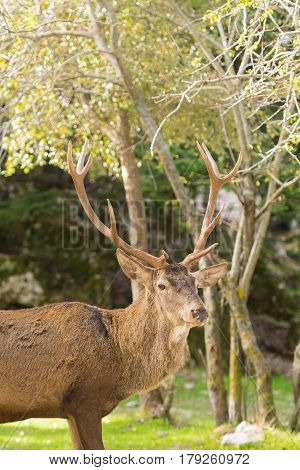 Male deer portrait with long horns at Parnitha mountain in Greece.