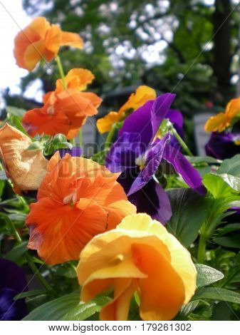 Nice pansy flower in the park; Oarange pansy; yellow pansy and purple pansy