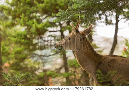 Close up of a deer eating from a tree at Parnitha mountain in Greece.