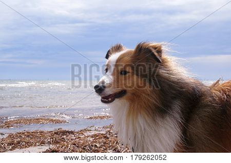 Shetland Sheepdog having happy walkies on an Australian beach