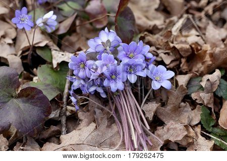 Bunch of first spring flowers on dried leaves in forest. Anemone hepatica blue forest flowers. Bunch picked in forest.