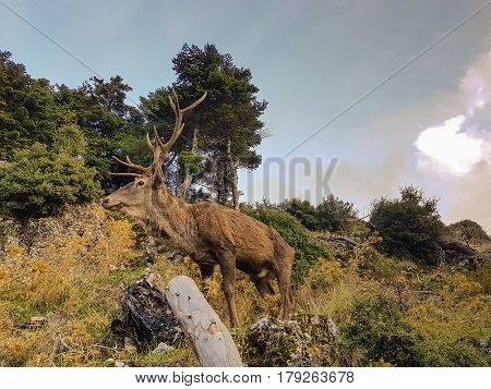 Male deer at Parnitha mountain in Greece. Close up look.