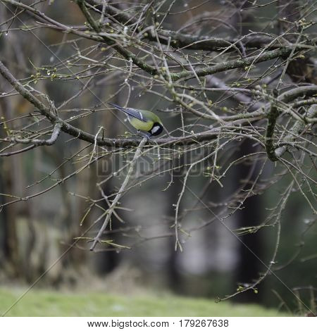 one great tit sitting in tree looking for food