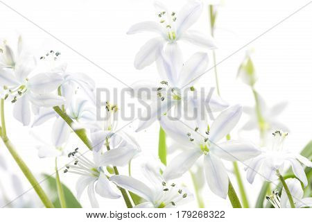 White Scilla flowers in spring on white background