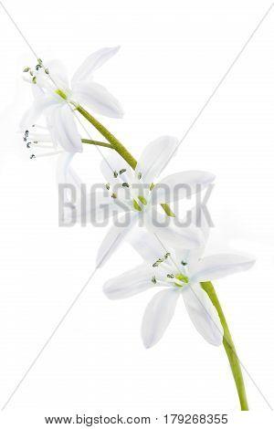 White Scilla flower isolated on white background