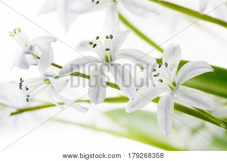 White Scilla flowers in spring on light background