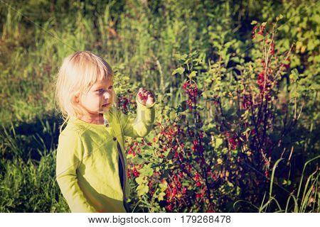 little girl picking red currents in garden, kids gardening