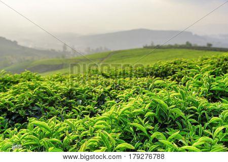 Upper Bright Green Tea Leaves At Tea Plantation In Evening