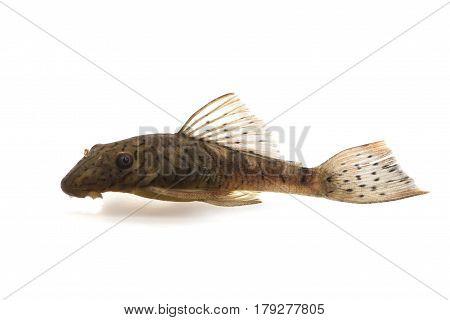 Ancistrus L159 catfish isolated on white background