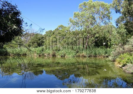 Australian wetlands pond river water reflection of trees in green water with blue sky