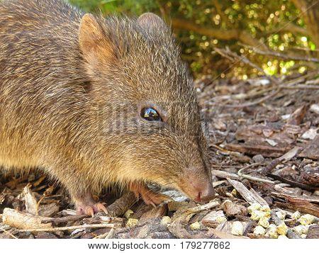 Close-up of a Potoroo Bandicoot marsupial Australian animal rodent