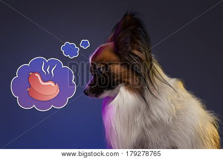 Studio portrait of a small yawning puppy Papillon dog on blue studio background. Concept of dreams of dog
