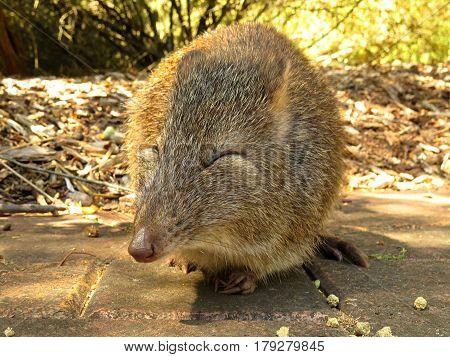 Close-up of a Potoroo Bandicoot marsupial Australian animal rodent eyes closed pray