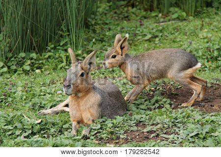 A Pair of South American Mara Patagonian Hares.