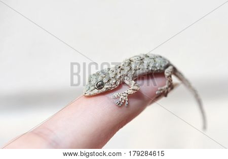 scared baby lizard sitting on a finger, closeup