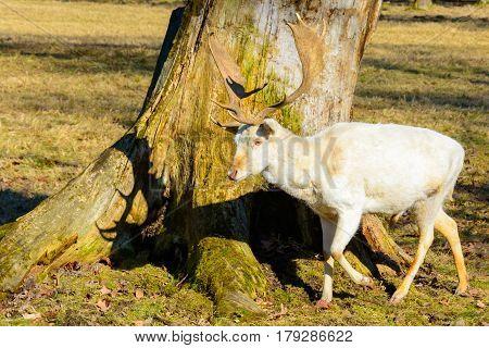 Herd Of White Fallow Deer In Nature At Sunset. Fallow Deer In Rut. Latin Name - Dama Dama. Rare Albi