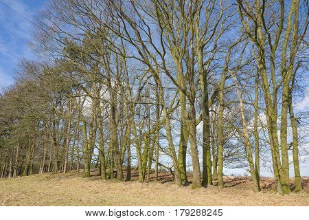 Row of trees on the heath in Elspeet Netherlands.