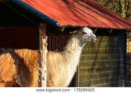 Lama hiding from the sun. Shelter for llamas. Lama in captivity.