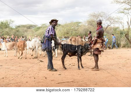 TURMI ETHIOPIA - AUGUST 172015: unidentified men from Hamer tribe prepare the row of bulls for the bull jumping ceremony. Bull jumping is an initiation ceremony for Hamer boys