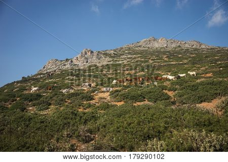 A flock of sheeps on the hill slope, Milos island, Greece