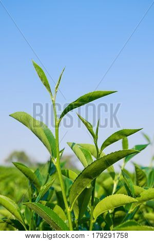 Growing green Tea Leaves with blue sky