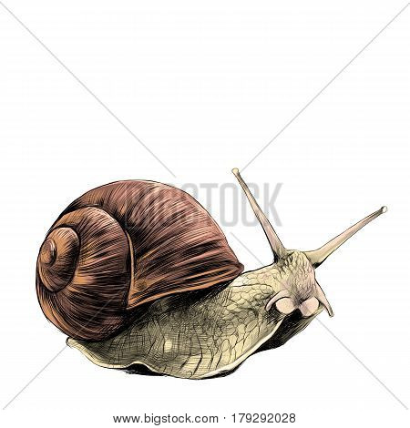the snail sketch vector graphics colored drawing