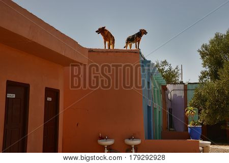 Two dogs on the roof of the toilet guard the building Morocco