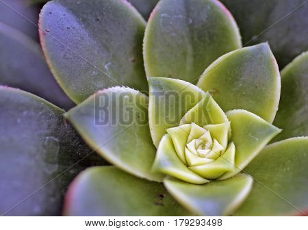 Closeup of the Rosette on a Succulent in a Greenhouse