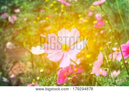 Pink cosmos flower (Cosmos Bipinnatus) with blurred light rays background