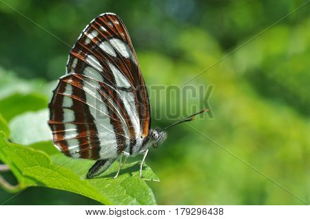 Neptis sappho, Common Glider butterfly resting on a leaf