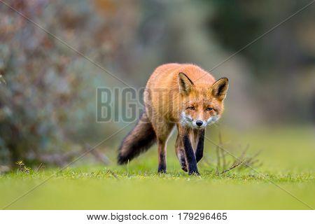 Fox Walking On Grass