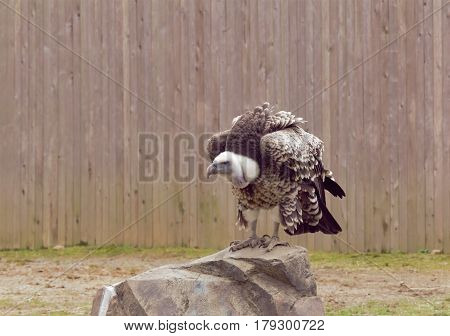 A large bird of prey perched on a rock