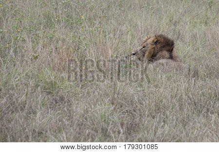 Profile Of Lion Hiding Queen Elizabeth National Park, Uganda